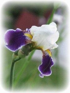 iris-white-and-purple_w544_h725