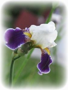 iris-white-and-purple_w544_h725